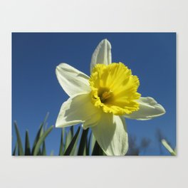 Daffodil Out of the Blue Canvas Print