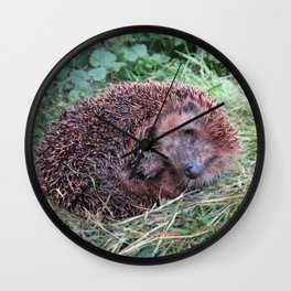 Erinaceidae,small hedgehog, wild living, sleeping in the grass Wall Clock