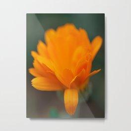 Marigold - Nature Photography Metal Print
