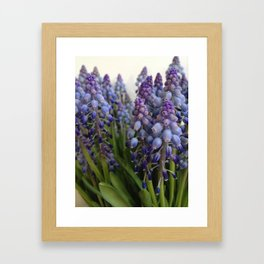 Grape hyacinths Framed Art Print