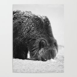 Alaskan Grizzly Bear in Snow, B & W - 2 Poster