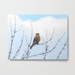 Sparrowhawk (Kestrel) 2 Metal Print