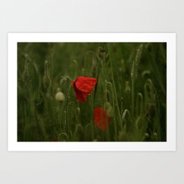 Red Poppies at Dusk Art Print