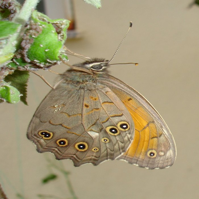 Meadow Brown Butterfly Feeding On Aphids Comforters