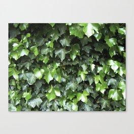 Evergreen Ivy Canvas Print