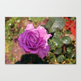 Sardinian Rose Poetry Canvas Print