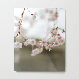 Blush Pink Cherry Blossoms on Brown Metal Print