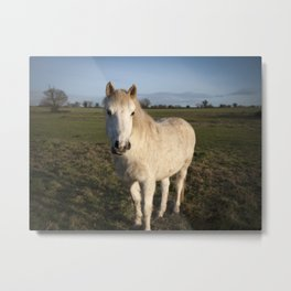 White horse standing in the sun. Peddars Way, Norfolk, UK in Winter. Metal Print