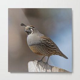 Male California Quail (Callipepla Californica) stands on a fence post near Point Reyes California. Metal Print