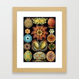 Haeckel Ascidiae Framed Art Print