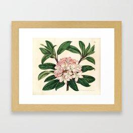 Rhododendron maximum 'Great laurel' Framed Art Print