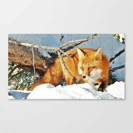 Algonquin Red Fox in the Snow Canvas Print