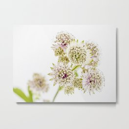 Astrantia major Metal Print