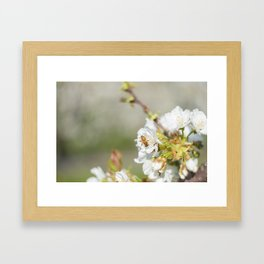 Bee laid on white flowers of a cherry tree Framed Art Print