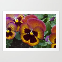 Pansy Painted Art Print