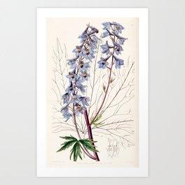Delphinium elatum palmatifidum/Delphinium intermedium palmatifidum Art Print