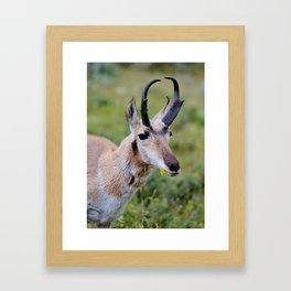Antelope Nibble Framed Art Print