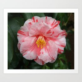 Pink and White Camellia Flower Art Print