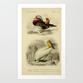 D'Orbigny - Universal Dictionary of Natural History; Birds (1849): 12 Mandarin Duck; Pelican Art Print