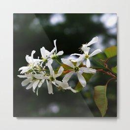 Spring!  Serviceberry blossoms Metal Print
