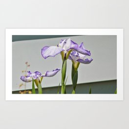 Iris in Spring Art Print