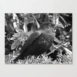 Blackbird in black and white Canvas Print