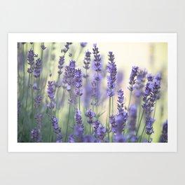 Summer Lavender Art Print