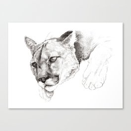 Sketch Of A Captived Mountain Lion Canvas Print