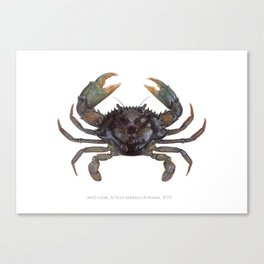 Mud Crab, Scylla serrata (Forskål, 1775) Canvas Print