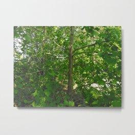 Sycamore Tree 2 Metal Print