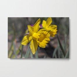 Daffodil 4 Metal Print