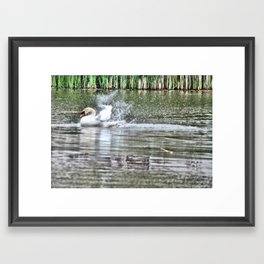 bathing swan Framed Art Print