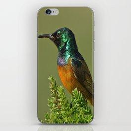 Orange Breasted Honey Bird iPhone Skin