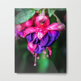Pink and purple fuchsias Metal Print