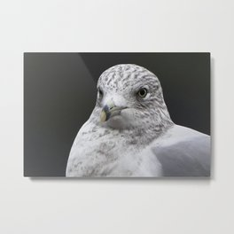 Seagull Winter close-up Metal Print
