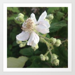 Blackberry blossom Art Print