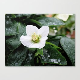 christmas rose Canvas Print