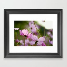 Cotton Candy Cosmos Framed Art Print