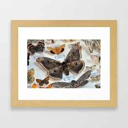 school insectarium butterfly collection box close detail Framed Art Print