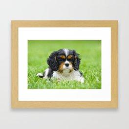 Cavalier King Charles spaniel puppy in garden Framed Art Print