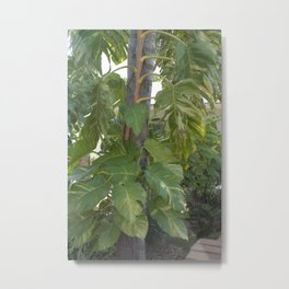 Pothos - Epipremnum aureum Growing up Tree Metal Print