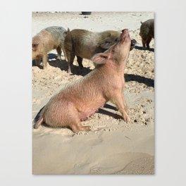 Bahamas Pig 3 Canvas Print