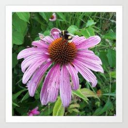 Bumblebee on Eastern Purple Coneflower Art Print
