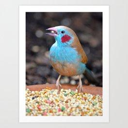 Cordon Bleu Finch Art Print