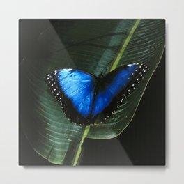 Costa Rican Blue Morpho Butterfly Metal Print
