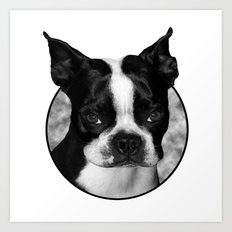 Boston Terrier Head Shot Art Print