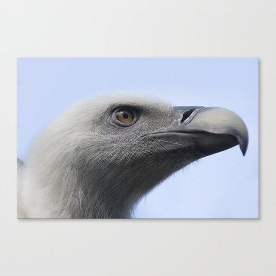 Headshot of young Griffon vulture, Gyps fulvus II Canvas Print