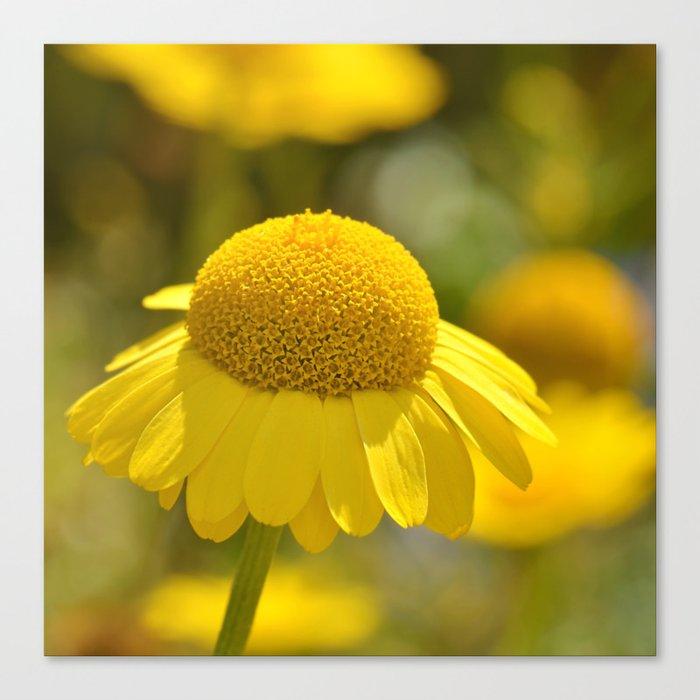 Yellow flower macro 253 Canvas Print