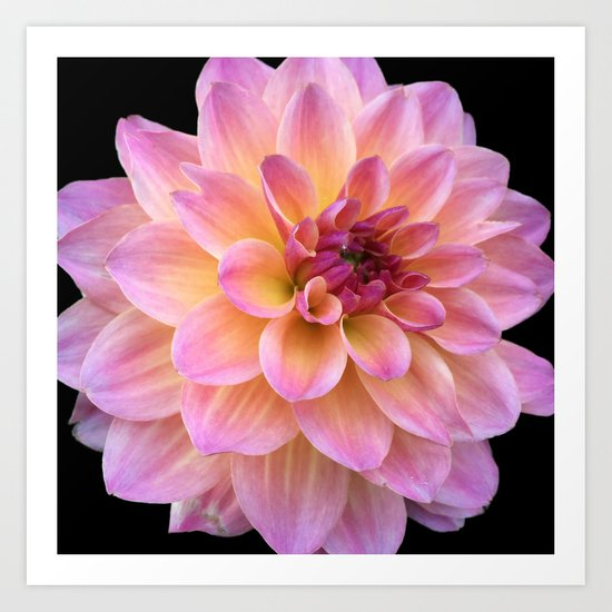 Dahlia in Bloom Art Print
