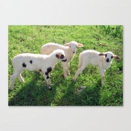 Three Cute Spring Lambs Canvas Print